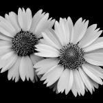 Wild Asters Jack Coleman 24 x 16 Photograph on Sheer Aluminum  $450
